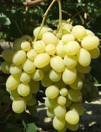 Не пропусти сезон винограда