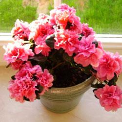 Почему стоит выращивать азалию дома?